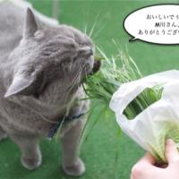ぐら、猫草を貪り食う。